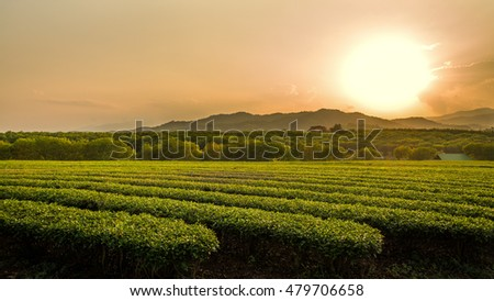 Sunset over tea plantation.