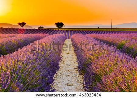 sunset over the blooming hills of the French provence with fragrant lavender flowers of blue and purple and trees in background of Valensole town in the Alps of the French Riviera
