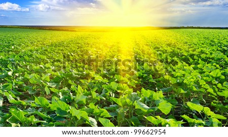 Sunset over the field of sunflowers against a cloudy sky. Summer landscape. - stock photo