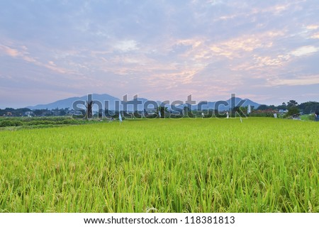 Sunset over the rice field
