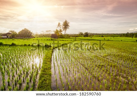 sunset over the rice fields  - stock photo