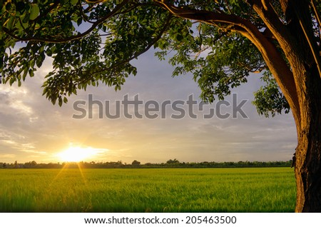 Sunset over the rice fields Splash of bright light on the tree with trees are a beautiful frame,. - stock photo