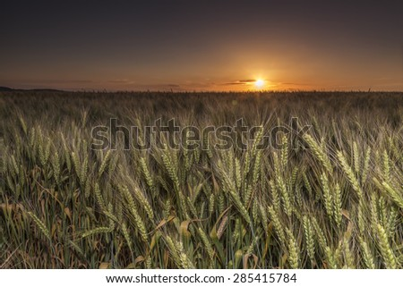 Sunset over the wheat of field - stock photo