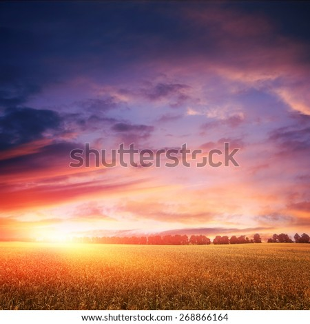 sunset over wheat field with amazing clouds on sky, line of trees on horizon - stock photo