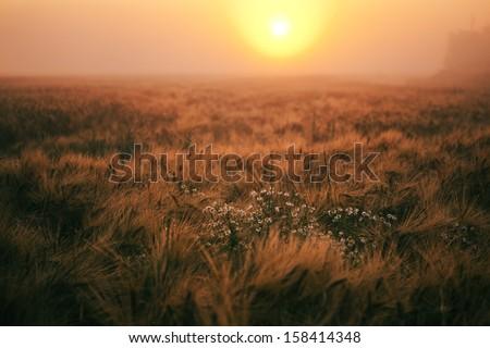 sunset over wheatfield - stock photo