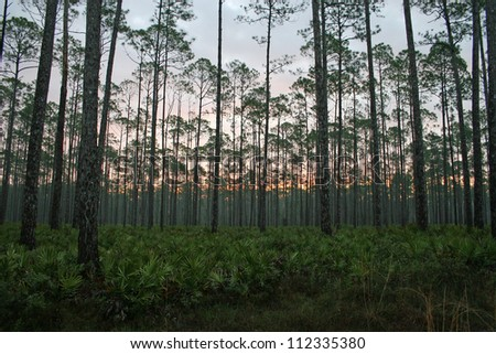 sunset pine forest - stock photo