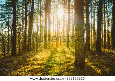Sunset Sunrise In Spring Coniferous Forest Trees. Nature Woods. HDR
