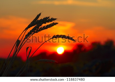 Sunset with wheat and trees - stock photo