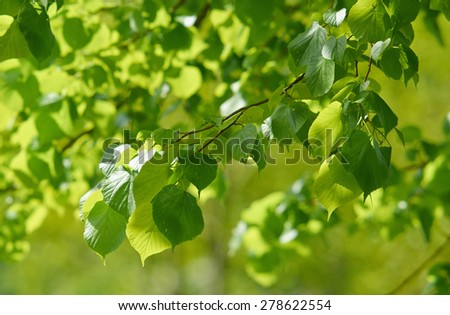 Sunshine background with a branch of linden