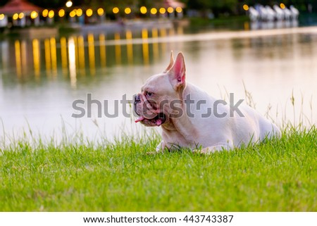 Sunshine French Bulldog