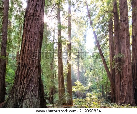 Sunshine in a redwood forest in California. - stock photo