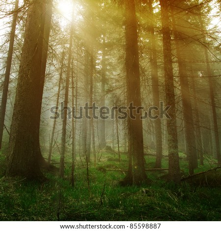 Sunshine in the dark forest