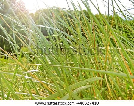sunshine through the grass of dunes - stock photo