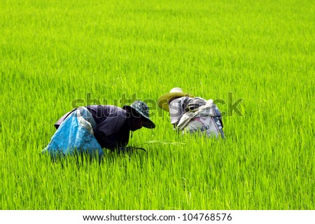 SUPANBURI, THAILAND - MAY 21: Two farmers work at a rice field in Suphanburi province, Thailand on May 21, 2008. Suphanburi is a big rice production area in Thailand.