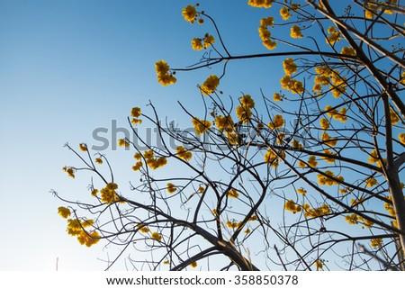Supanika Flower, Cochlospermum regium, with Blue Sky - stock photo