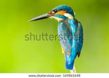 Super close up of  Male Common kingfisher  in nature  - stock photo