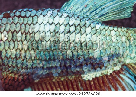 super close-up to skin and tail of green fighting fish