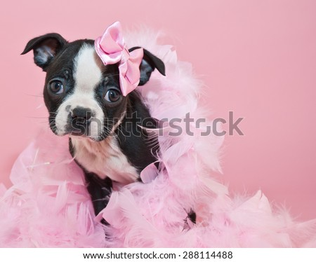 Super cute Boston Terrier puppy wearing a boa and a little pink bow, on a pink background. - stock photo