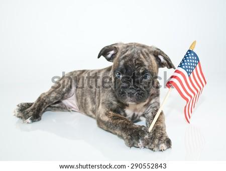 Super cute Bulldog puppy laying on a white background with an American flag with a sweet look on his face.