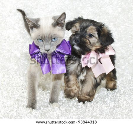 Super cute kitten and puppy together wearing pretty bows, on a white background. - stock photo