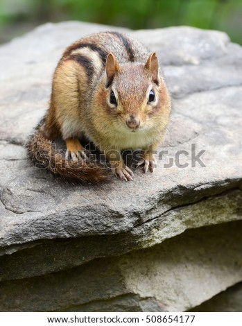 Super cute little female chipmunk hanging out on a rock wall