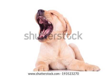 super excited labrador retriever puppy dog screaming of joy. tired little puppy is yawning - stock photo
