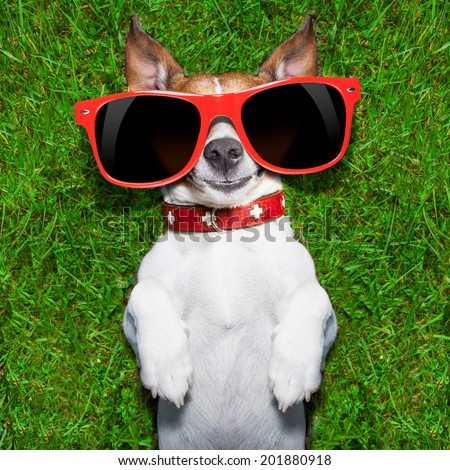super funny face dog lying on back on green grass looking crazy - stock photo