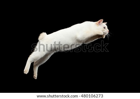 Super Jump of Blue eyed Female Cat of Breed Mekong Bobtail, Isolated Black Background, Color-point Beige Fur, Side view on Tail