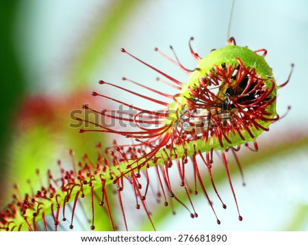 super macro of beautiful sundew ( drosera ).  insect catched by the plant. Floristic abstract background - stock photo