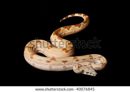 Super salmon Columbian red-tailed boa (Boa constrictor constrictor) isolated on black background.