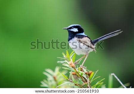 Superb Fairy Blue Wren - stock photo