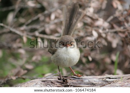 Superb Fairy Wren Malurus cyaneus - stock photo
