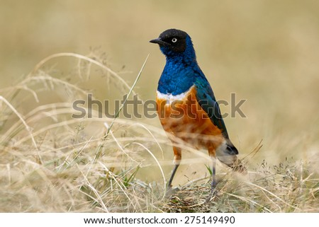 Superb starling, African and colored bird - stock photo