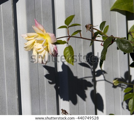 Superbly  magnificent romantic beautiful soft  yellow  and pale pink fully blown rose blooming in early winter  adds fragrant charm to the garden attracting bees and butterflies to the sweet pollen. - stock photo