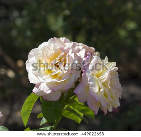 Superbly  magnificent romantic beautiful yellow tinged pink Peace rose blooming in late  autumn adds fragrant charm to the garden attracting bees and butterflies to the sweet pollen. - stock photo