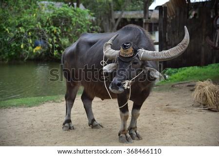"""Suphanburi, Thailand - January 24, 2016:Thai Buffalo in  Baan Kwai (Buffalo Village) During the farming season, Thai farmer takes the first step with plough known in Thai as """"Tam Rai Tai Naa"""". - stock photo"""