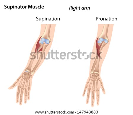 Supinator Muscle Stock Illustration 147943883 - Shutterstock