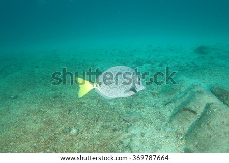 Surgeon fish - stock photo