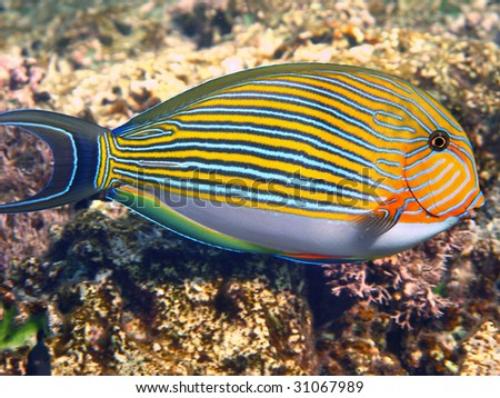 Surgeonfish - stock photo