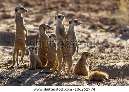 Suricate family standing in the early morning sun back lit looking for possible danger - stock photo