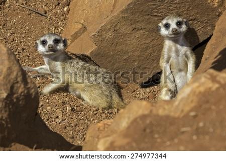 Suricate Meerkat - stock photo
