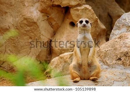 Suricate meerkat standing up (Suricata suricatta) - stock photo