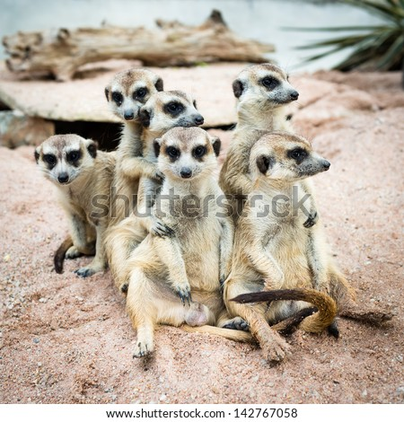 Suricate or meerkat family - stock photo