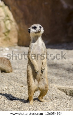 Suricate or meerkat on the lookout.