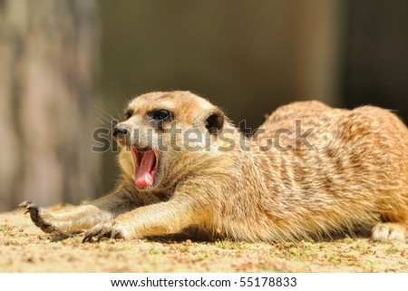 Suricate or meerkat (Suricata suricatta) family Earth males stretches himself and yawns - stock photo