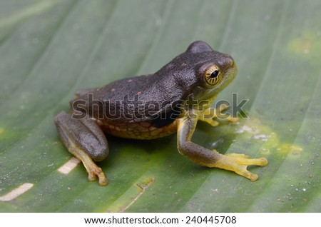 Surinam golden-eyed tree frog (Trachycephalus coriaceus) - stock photo