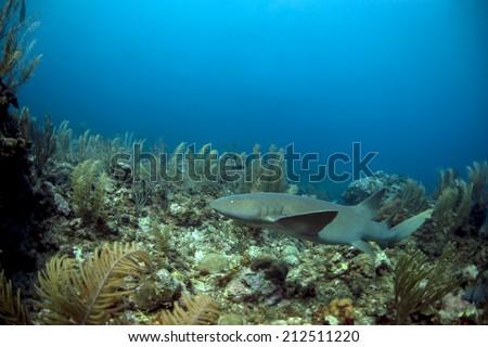 Surpirse visit by a nurse shark - stock photo
