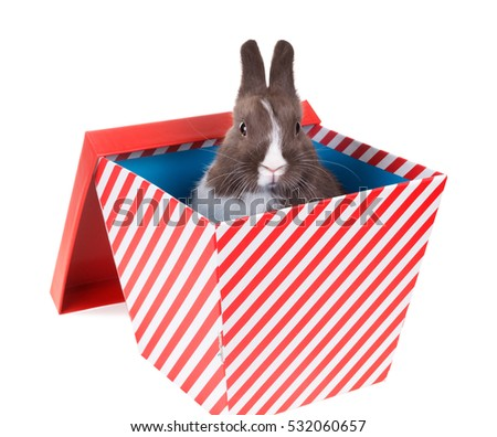 Surprise - Baby Dutch dwarf rabbit in a gift box.  Isolated on white background