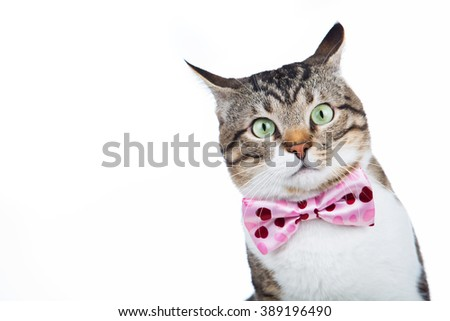 Surprised Cat looking up  with a ribbon,bow sitting and looking up isolated on blue background. - stock photo