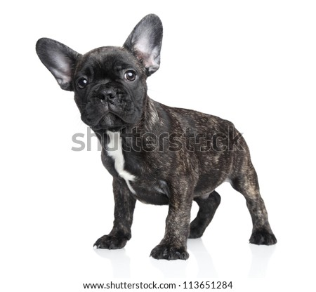 Surprised French bulldog puppy on a white background